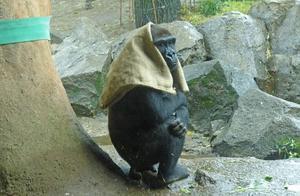 日本40岁母猩猩成网红 一下雨就把麻袋披头上(图)