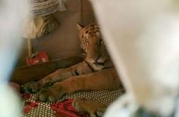 印度老虎不堪洪水之扰跑到居民家中 霸占了床后倒头就睡