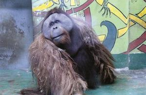 痛心!红毛猩猩乐申意外离世