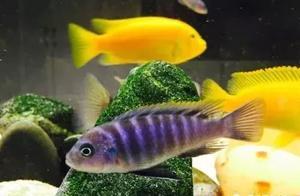 干货 | 鱼友分享养三湖慈鲷的50条实用经验,涨姿势