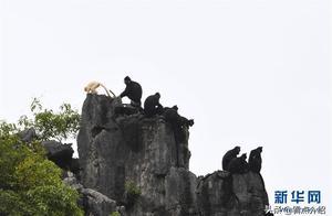 广西再现罕见白化黑叶猴 全球仅发现两只