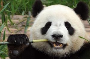 为何老虎和狮子从不袭击大熊猫?看完熊猫发火的样子,我服了!