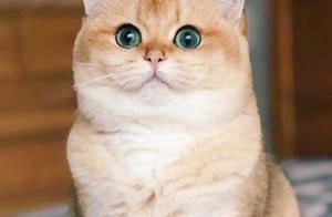 盘点英国短毛猫的几大品种