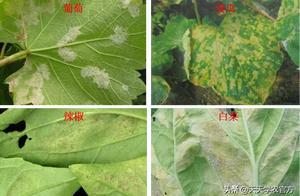 叶片坏死腐烂、各种色斑出现?真菌病害到底有哪些?看完就知道