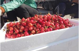 烟台樱桃初上市,13一斤,比苹果还便宜!还是无人买咋回事?
