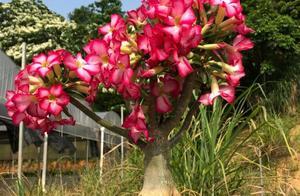 """沙漠玫瑰这样养,枝繁叶茂,""""大象腿""""上全是花,一次就""""开爆"""""""