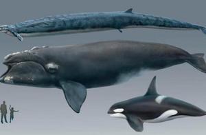 科学家研究亿年前的鲸鱼化石,发现它们不为人知一面,极为凶狠