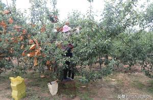 苹果套袋和樱桃采摘赶在一起,烟台果农这段时间真是忙