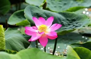 圆明园百年古莲复活开花,一起来发现植物的神奇