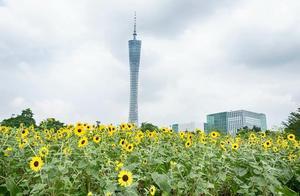 广州塔下的向日葵花海,向日葵盛开的样子和广州塔合照美呆了