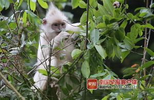 广西大新再现白化黑叶猴!全球仅发现两只,系某种基因缺失所致