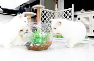 三只猫咪第一次见到鱼,然后不停的围着鱼缸转,我有种不好的预感
