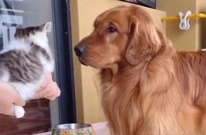 家里新来的小猫咪,大金毛看到猫咪时,躲到角落,下一秒忍住别笑