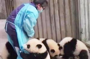 国宝熊猫界不成文的规定,用蜂蜜换熊猫宝宝,真是个坑娃的主!