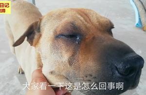 农村日记 大哥家的沙皮犬的眼睛有问题 大家看下该怎么办