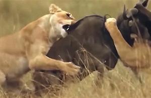 两只角马在激烈的战斗,不知危险已经来临,狮子很喜欢这种角马肉