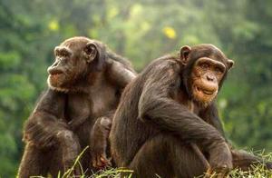 王者归来的猩猩王 还面临着巨大的危机