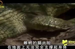 雌鳄来到岸边产卵,但是它的腿太短,在地面上无法支撑起身体