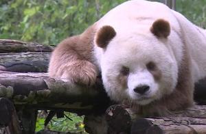 非常特殊的熊猫,世界上只有五只,现在仅有一只还在存活