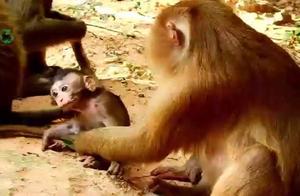 美猴母爱泛滥,忍不住照顾一番
