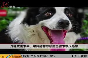 """狗狗惹了不该惹的鸟,愤怒的乌鸫持续一个月在狗狗头上""""便便"""""""