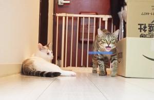 呆猫反应慢半拍,总是抢不到玩具,整只喵好失落
