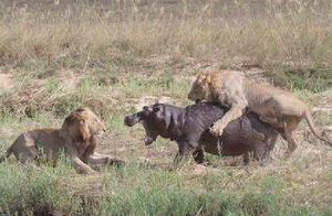 两只狮子攻击河马,大战一天一夜,最后结局却让狮子无奈河马叹息