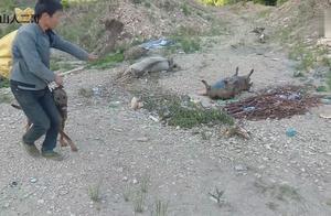 猎狗正在啃食,上前一看,现场真惨烈,小伙说它们互相厮杀