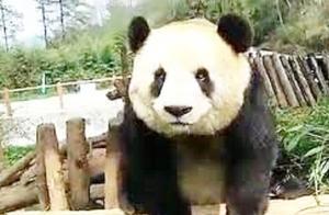 国宝大熊猫体重超标,被饲养员强制减肥,接下来却让人哭笑不得