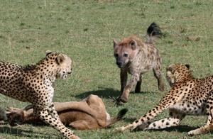 嚣张鬣狗欺负猎豹,猎豹不得已,只能用这招避难