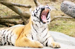 一獒战三虎?藏獒真能打过老虎?看看这个真实的例子