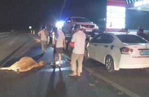小车撞上5头黄牛,四头当场死亡,幸亏牛主人及时放开牛绳