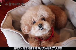 可爱的贵宾犬,价格不高却无人愿意饲养,宠主道出5大原因!