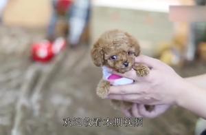 """为什么茶杯犬体型这么小?原来是人类故意的""""杰作"""",看完很心酸"""