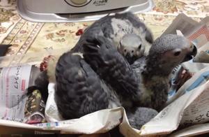 这是在非洲泛滥的鸟,在国内一只能卖到5000块,号称最聪明的鹦鹉
