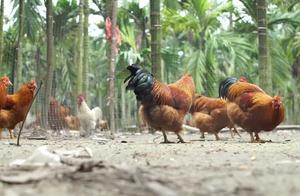 男子农村买土鸡被坑,掉一根鸡毛都要你赔50块?