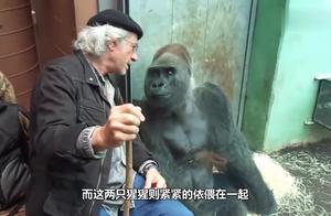 自从给公猩猩配了母猩猩以后,就不停挑衅抽风,你们看还有救吗?