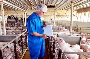 中国买家停购数千吨美国猪肉,美国上百个农场破产,事情又有新进展