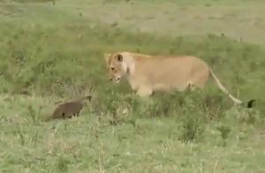 狮子惨遭暴打,不敢还手一直后退,狮子:你千万别过来了