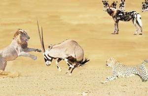 狮子捕猎猎豹,羚羊却在一旁互撕!