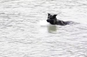 德国牧羊犬不愧为军犬,独自游过江后,带领大伙安全渡江