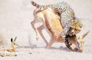 猎豹围捕羚羊当大餐,五只猎豹竟然短路抓捕羚羊失败?