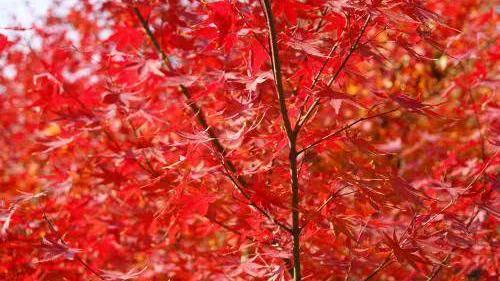中国哪的枫树林最为壮观