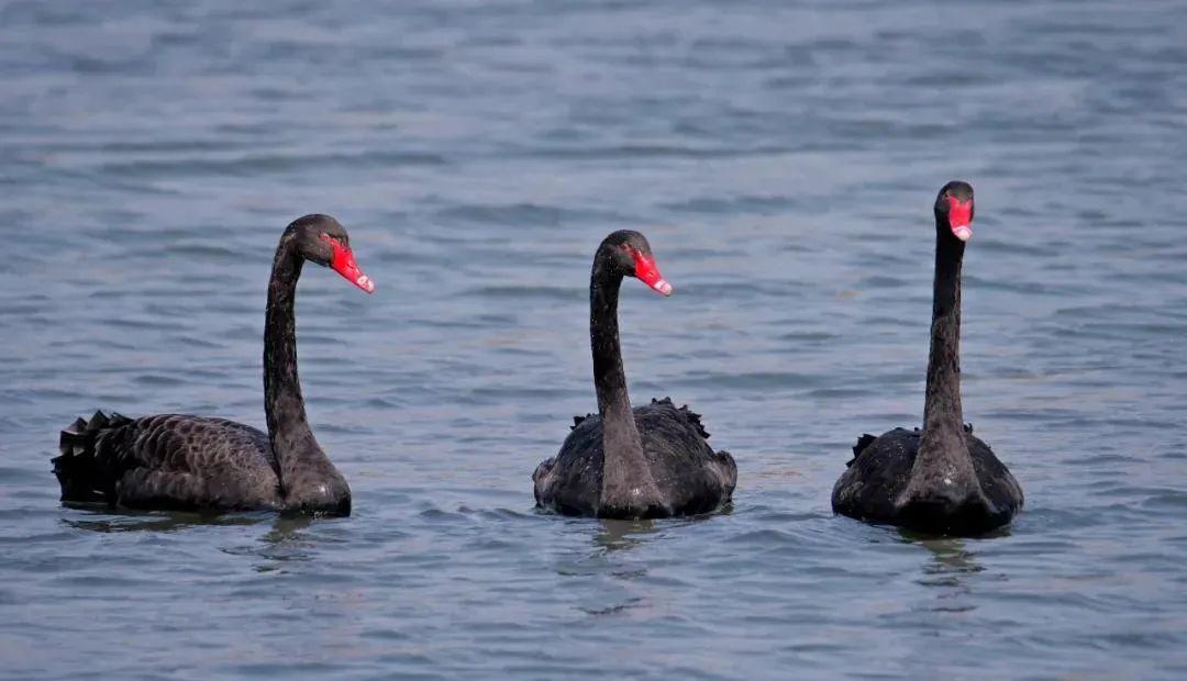 罕见!陕西这里发现黑天鹅种群!