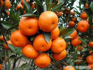 我爱家乡的橘子作文300字