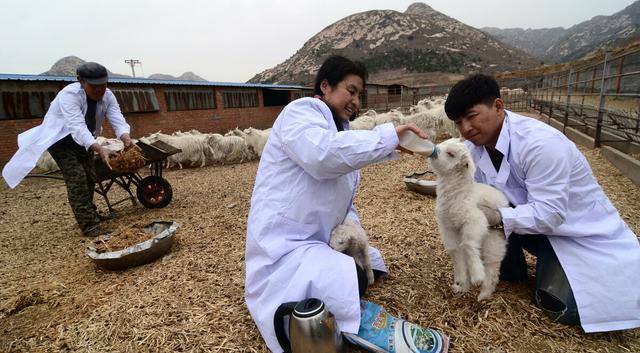 """虽然羊价""""很美丽"""",但养羊其实没有想象中那么好"""