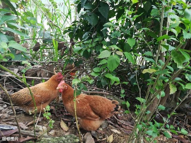 怎样喂鸡才能旺得快