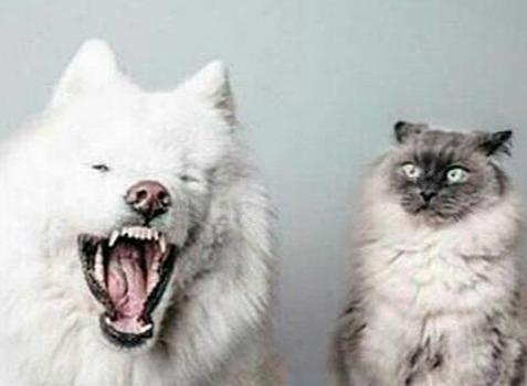 萨摩耶能和猫一起养吗
