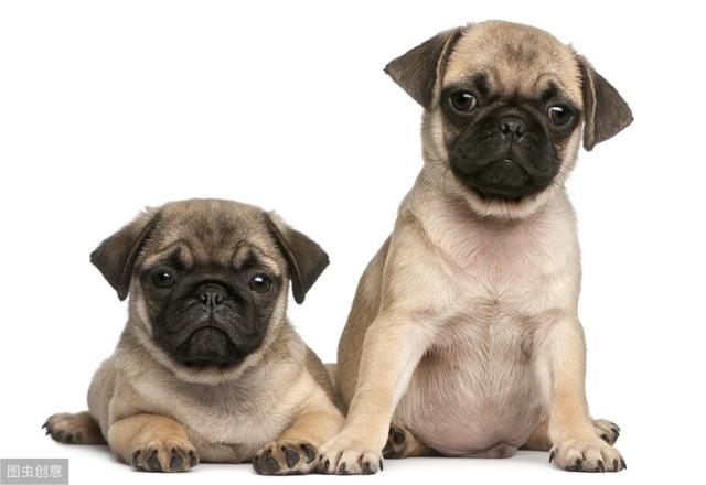 巴哥犬颜值不高,为什么总是吸引很多的人来喂养