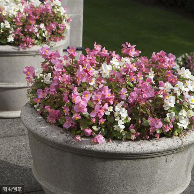怎样才能让四季海棠长得壮花开得多